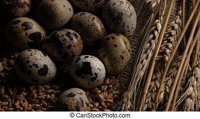 Quail eggs laid on the grains of wheat. Close up