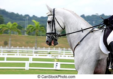 Dressage Horse - A white horse in  dressage competition.
