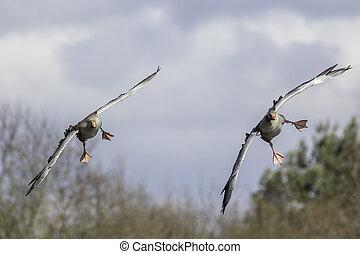 Greylag geese in flight - Pair of greylag geese (Anser...