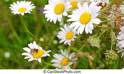 Bee Pollinating Chamomile. - Bee Pollinating Spring Flowes...