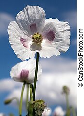 Detail of flowering opium poppy papaver somniferum