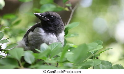 Young hooded crow chick nestling - Young hooded crow (Corvus...