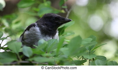 Young hooded crow chick nesstling - Young hooded crow...