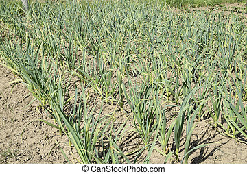 The cultivation of garlic in the garden. The bed of garlic....