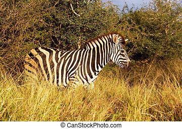 Burchells Zebra - Burchells zebra Equus burchellii, Satara...