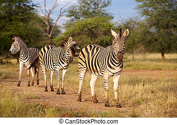 Burchells Zebra - Burchells zebra Equus burchellii, in the...