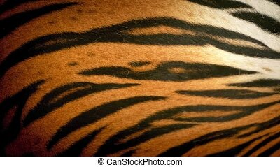 Tiger Breathing Fur Closeup - Closeup of tiger breathing...