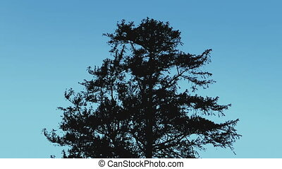 Tree Silhouette Against Blue Sky - Large tree in breeze on a...
