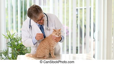 Veterinarian doctor examine ill cat health in veterinary...