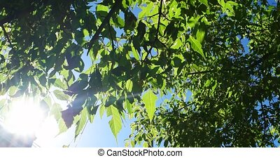 Green park trees background backlit in front of blue sky...