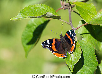 Red Admiral butterfly Vanessa atalanta basking on an apple...