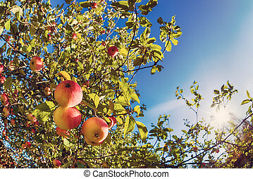 Upward view of an apple tree against blue sky