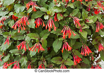 Red flowers of Honeysuckle Fuchsia, also called Firecracker...