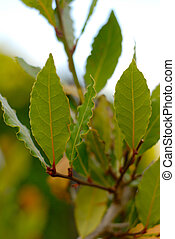 Laurel Leaves Branch - Branch of green laurel tree with...