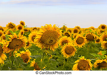 Sunflower field on a sunny day. Background of sunflower. set...