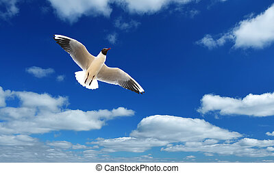 Gull or sea gull in blue sky with white clouds - Flying Gull...