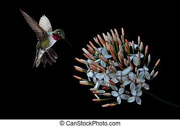 Hummingbird with tropical flower over black background -...