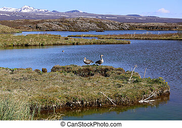Goose in Iceland