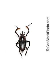 Wild Snout Beetle