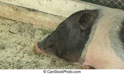 Pig on the farm summer day