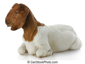 goat - south african boer goat doeling with reflection on...