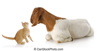 farm animals - cute kitten and goat doeling interacting with...