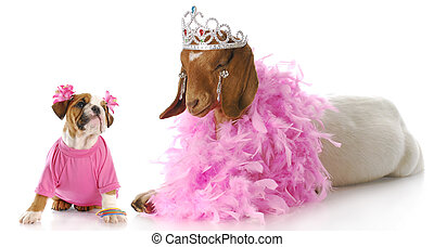 spoiled animals - female bulldog puppy in pink looking up at...