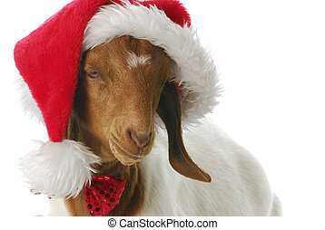 goat dressed up with santa hat - south african boer goat...