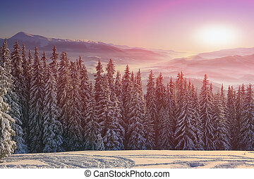 pine tree in winter at sunset in the mountains
