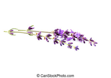 Lavender flowers isolated. - Lavender flowers isolated on...