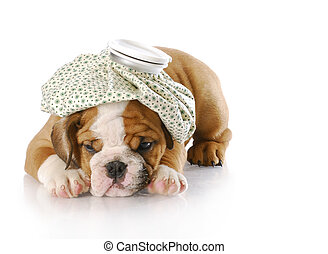 sick puppy - english bulldog puppy with hot water bottle on...