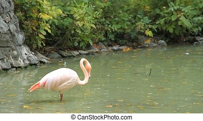 Pink flamingos in the pond eats.