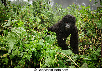 Small mountain gorilla in the forest - Front view of...