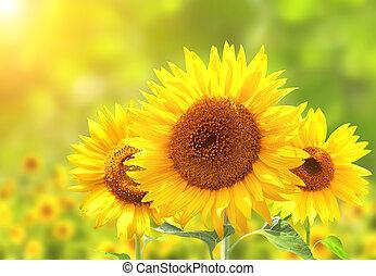 向日葵, 陽光普照, 背景, 被模糊不清