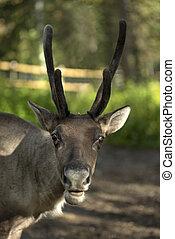 full grown shaggy Reindeer with peeling shedding velvet on...