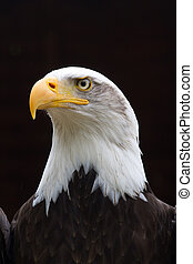 Regal Bald Eagle Portrait - A Regal looking Bald Eagle with...