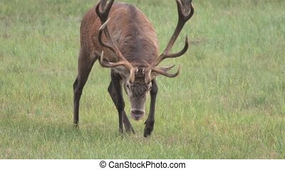 red deer in rutting season