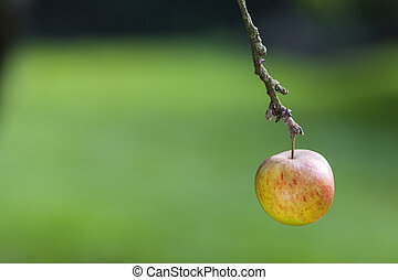 One Single Apple Hanging on The Branch of a Tree
