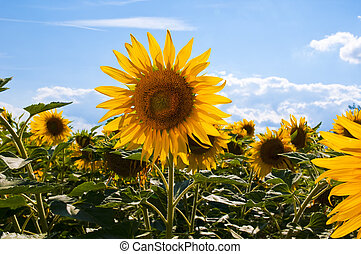 Sunflowers on a bright sunny sommer day
