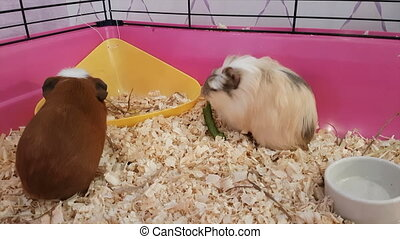Guinea pigs eating green cucumber. Struggle for food.