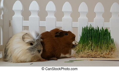 Guinea pigs eating sprouting oats.