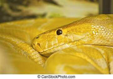 Snake head - Close up of snake head, Thai Python, Python...