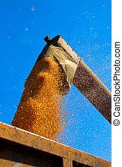Corn harvest - Unloading a bumper crop of corn after harvest