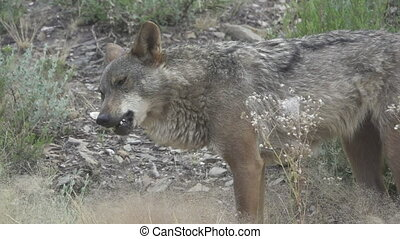 Slow motion of wolf eating - Side view of wolf eating over...