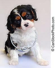 cavalier puppy
