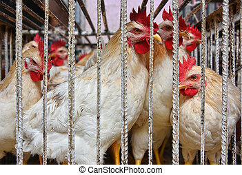 Chickens in a cage ready for sale on the arab market place.