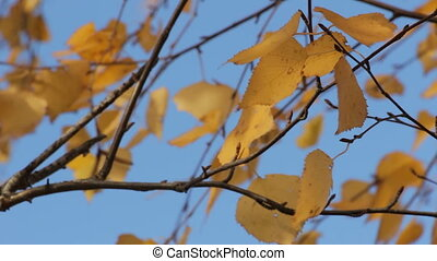 Yellow autumn leaves 3