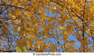 Yellow autumn leaves 1