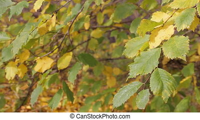 Autumn yellowing leaves dangle light breeze