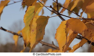 Yellow autumn leaves 2 - Yellow autumn leaves dangle light...